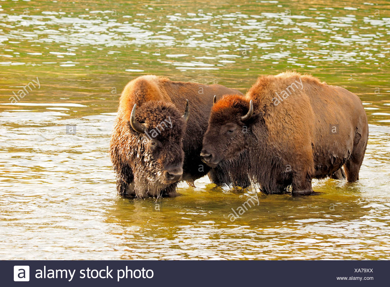 American bison, buffalo (Bison bison), buffalos crossing Yellowstone River, USA, Wyoming, Yellowstone National Park, Hayden Valley - Stock Image