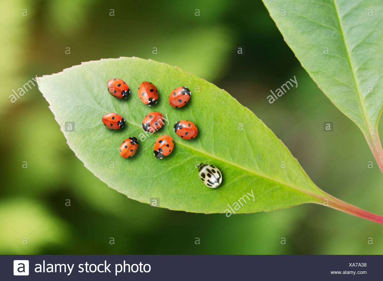 Unique ladybug standing out from the crowd on leaf - Stock Image