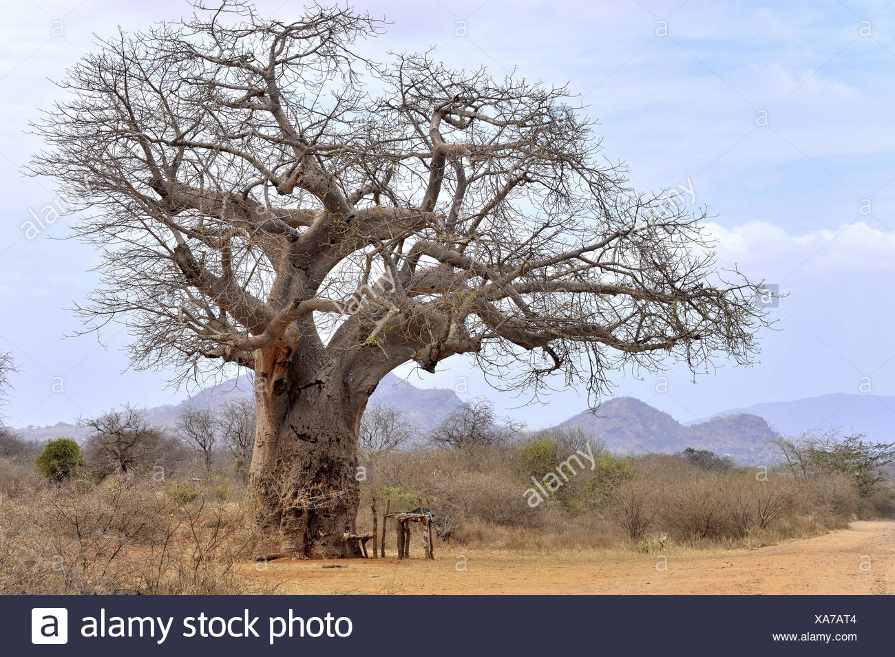 Baobab Tree in Africa - Stock Image