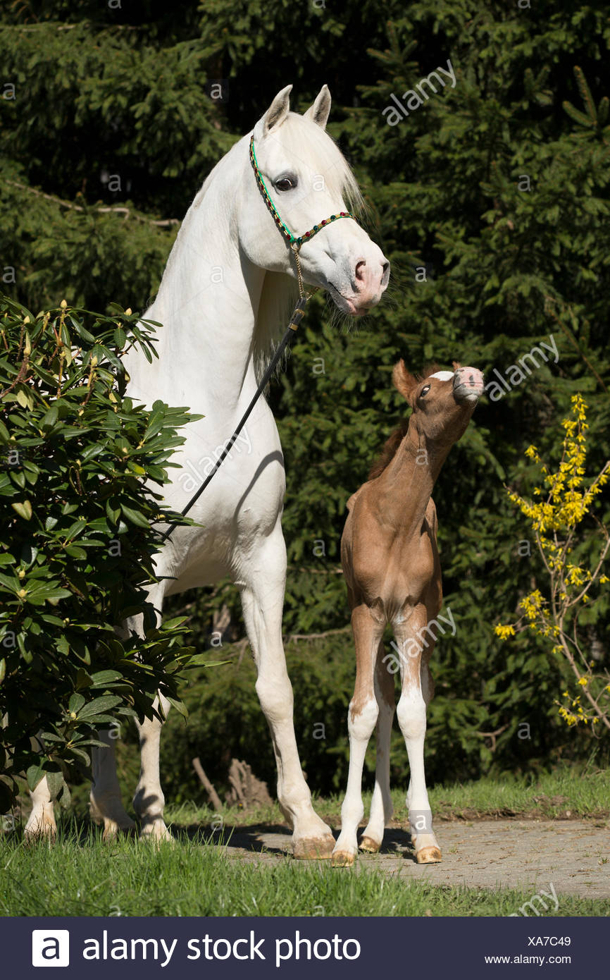 White Arabian Mare With Foal Stock Photo Alamy