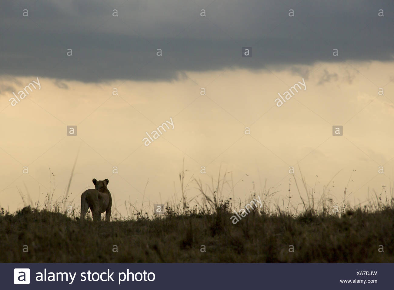 A lioness, Panthera leo, stands on top of a hill at sunset and surveys her surroundings. - Stock Image