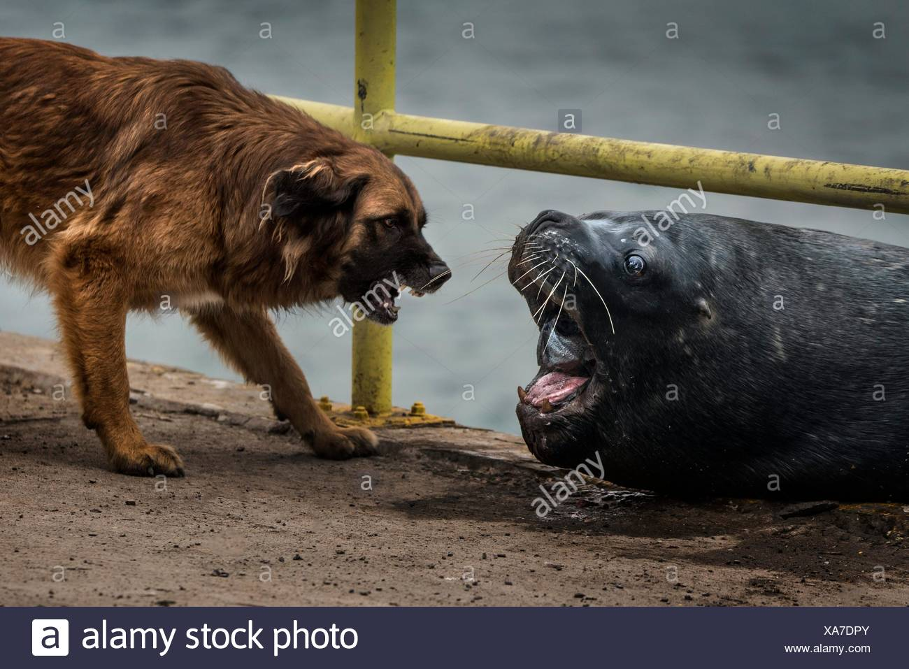 Sea lion VS Dog - dog and sea lion fighting for a piece of fish - Stock Image