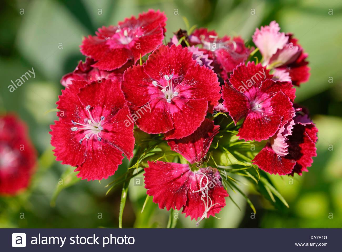 Dianthus, Sweet William (Dianthus barbatus), red blossoms - Stock Image
