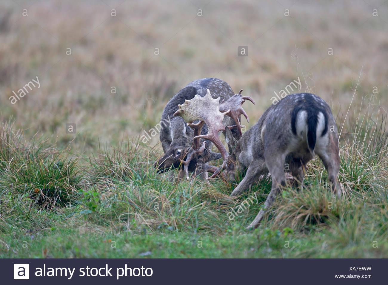 fallow deer (Dama dama, Cervus dama), two stags fighting, Denmark, Sjaelland - Stock Image
