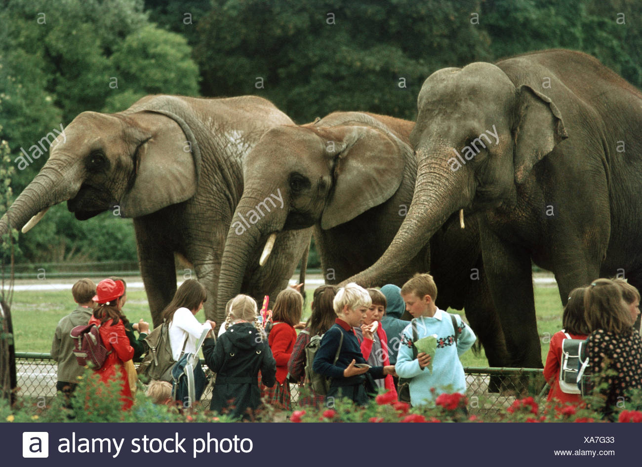Asiatic elephant, Asian elephant (Elephas maximus), school class at the zoo in front of an open-air enclosure with three animals - Stock Image