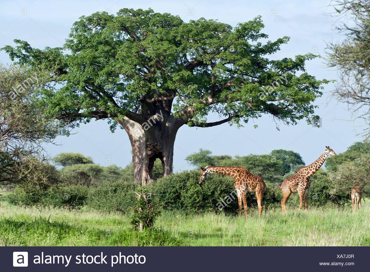 Rothschild's Giraffes, Giraffa camelopardalis rothschildi, under baobab tree, Tarangire National Park, Tansania, Africa - Stock Image