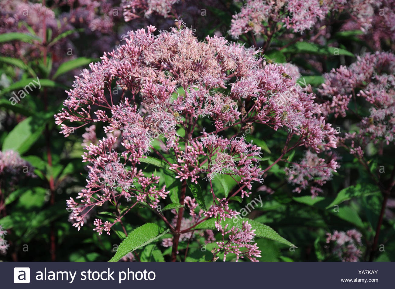 Joe pye weed - Stock Image