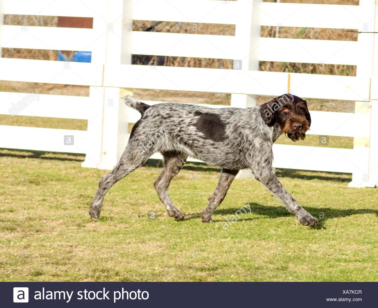 Wiry Coat Stock Photos & Wiry Coat Stock Images - Alamy