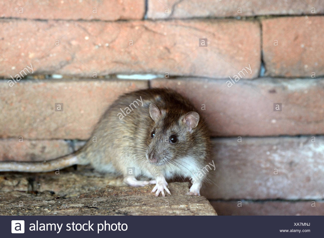 brown rat,common rat, - Stock Image