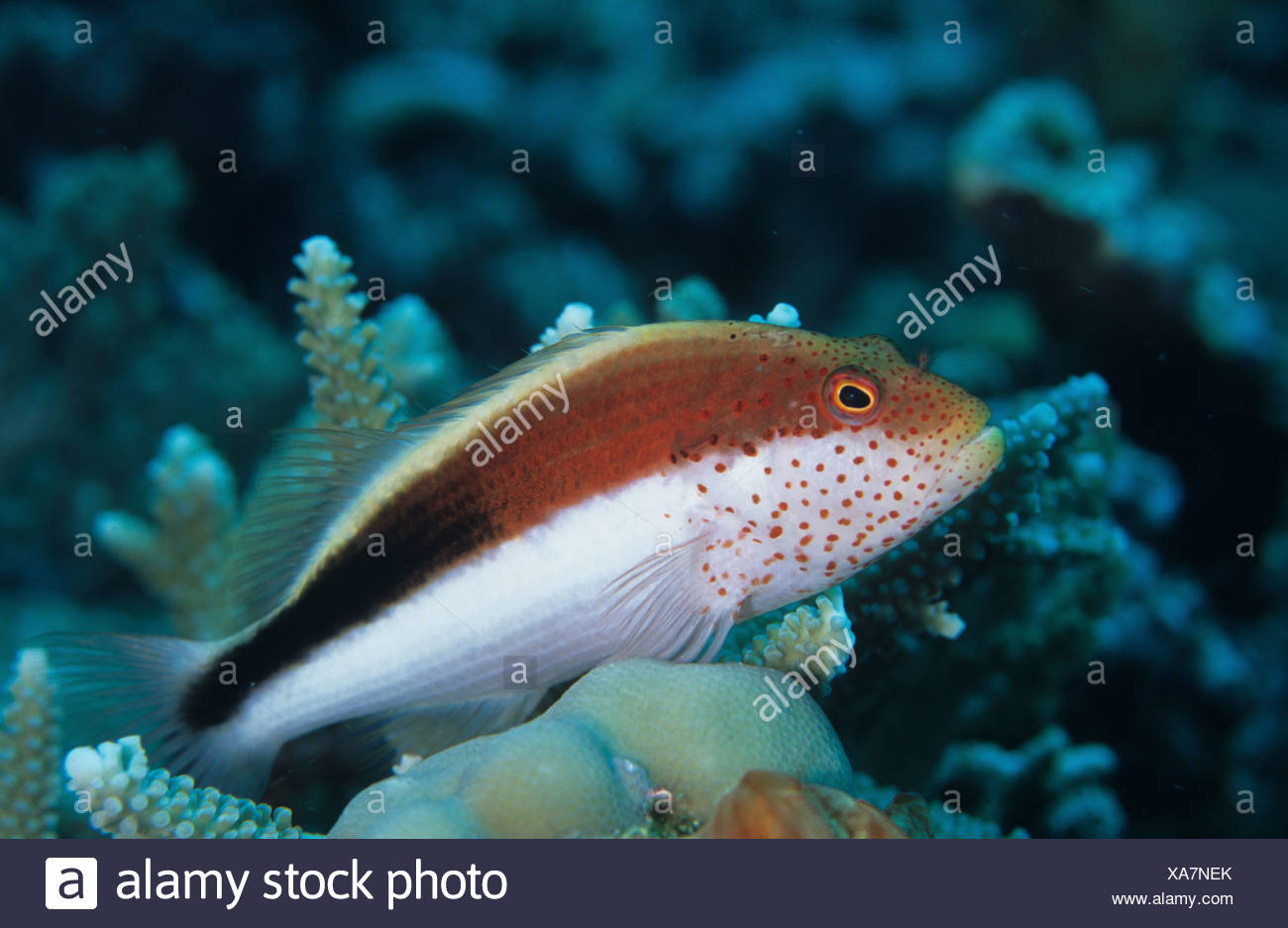 Forster s Hawkfish Paracirrhites forsteri Tony s Bommie Reef Tufi Papua New Guinea - Stock Image