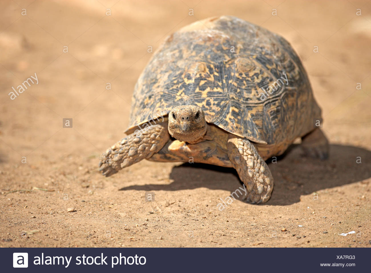 Leopard Tortoise, Addo Elephant Nationalpark, Eastern Cape, South Africa, Africa /  (Testudo pardalis) Stock Photo
