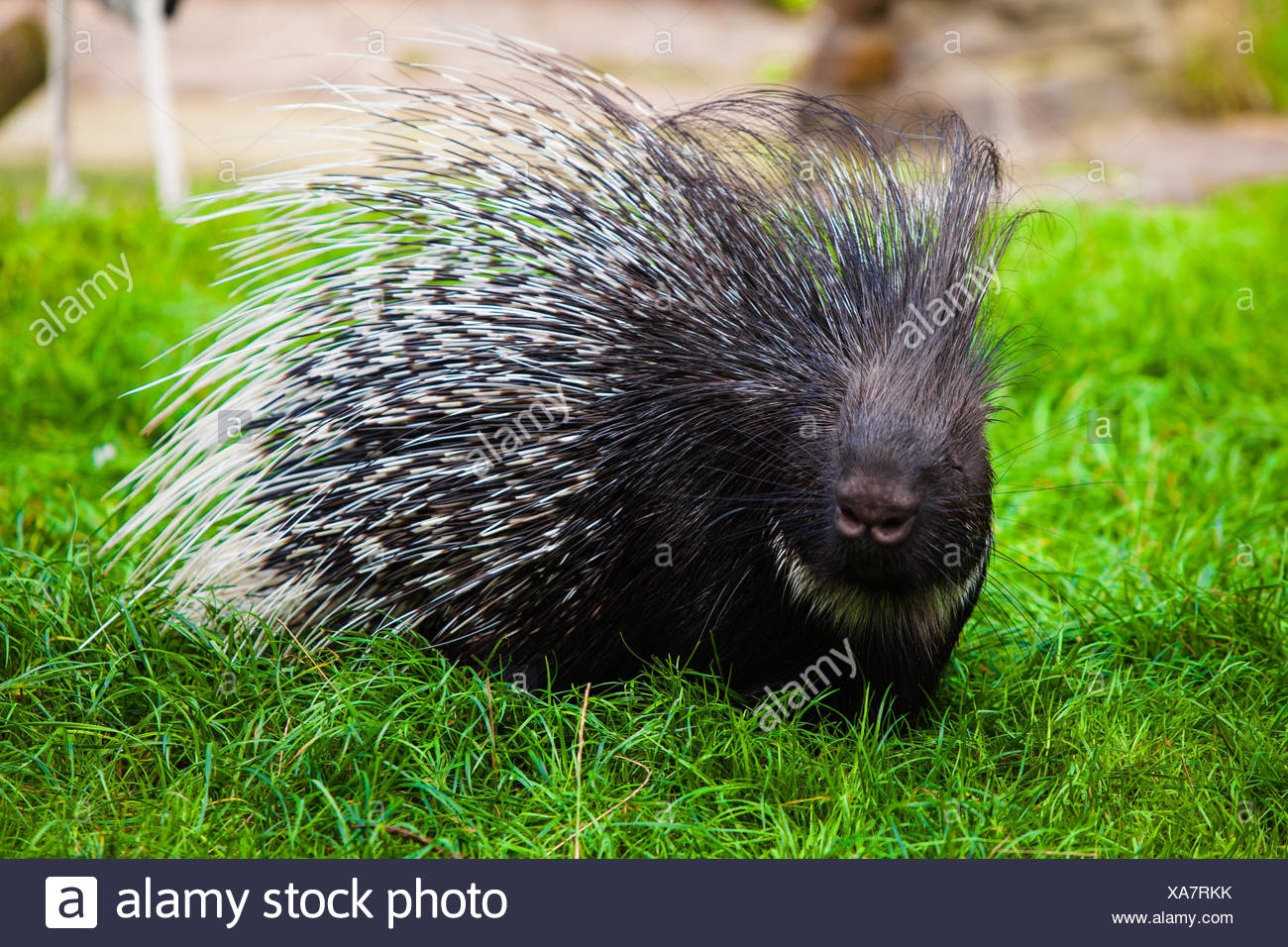 Porcupine on grass - Stock Image