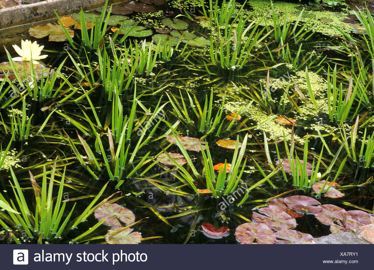 Stratioites aloides, small pond, Water Soldier, water plant, garden soldiers ponds - Stock Image