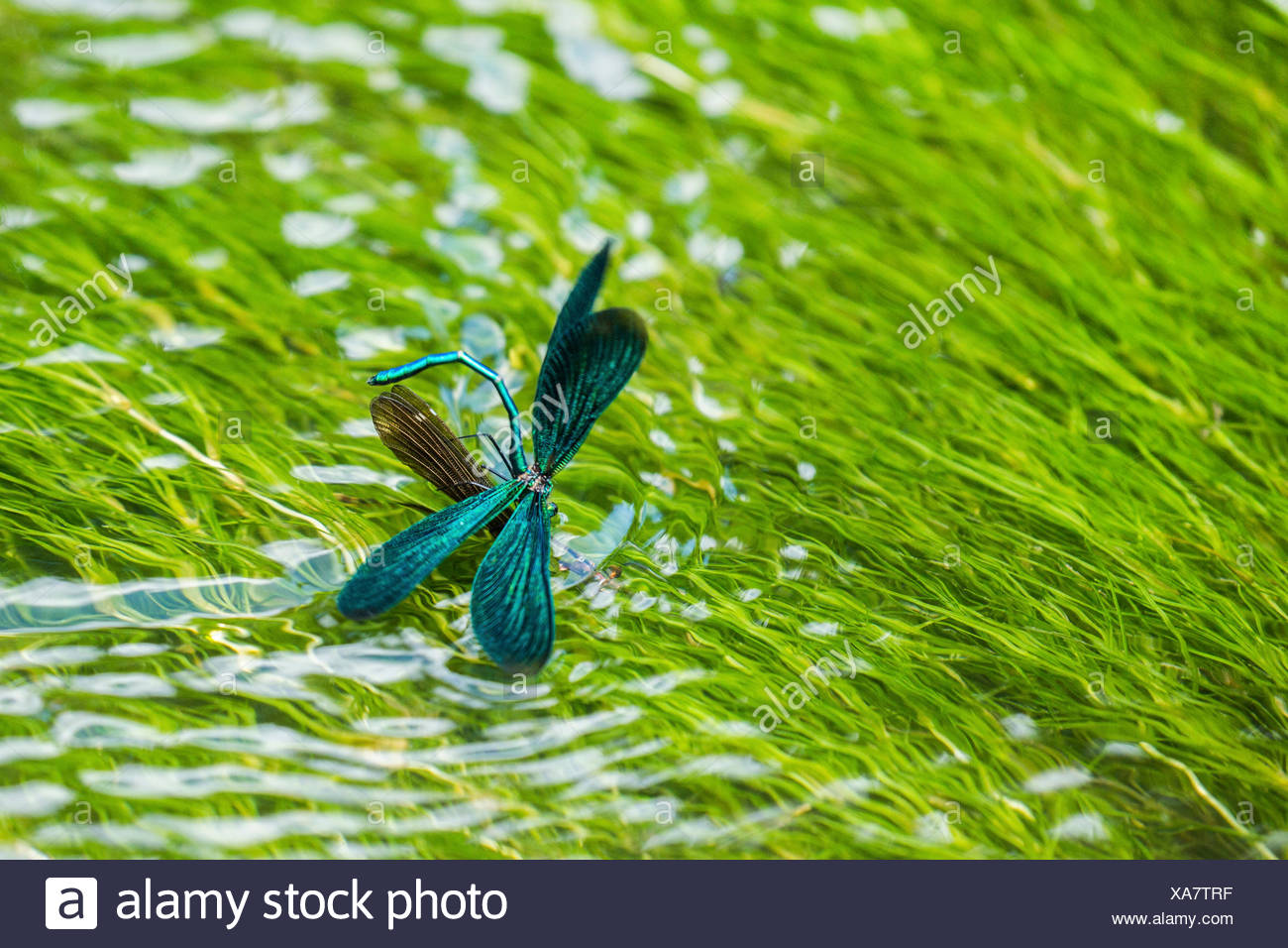 Blaufluegel-Prachtlibelle, Blaufluegelprachtlibelle (Calopteryx virgo), Weibchen bei der Eiablage, bewacht von aufsitzendem Maen - Stock Image