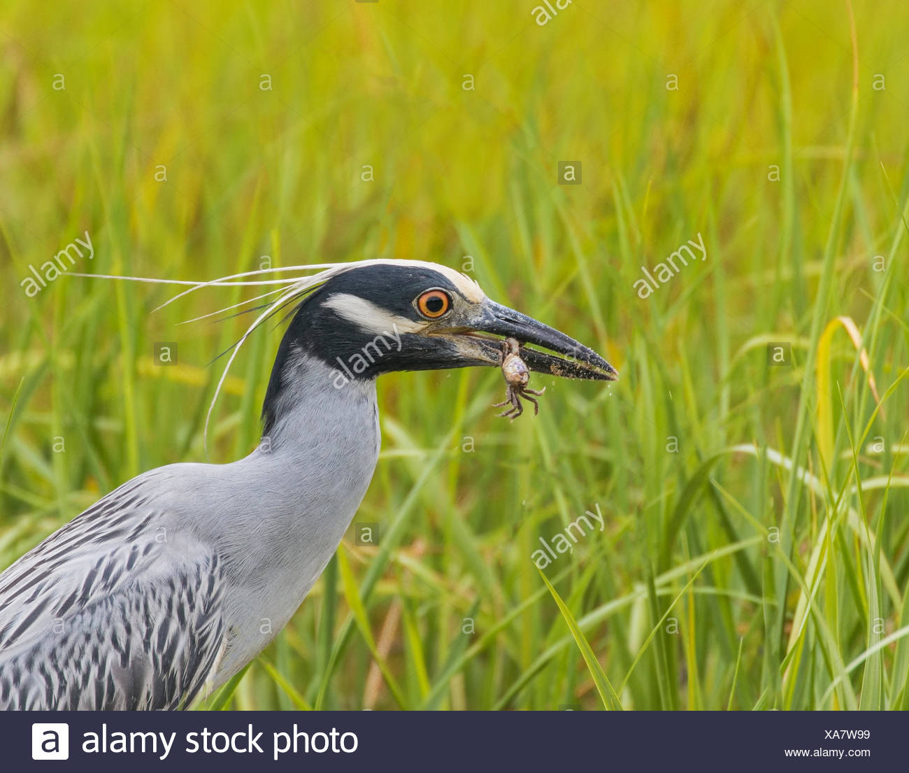 A yellow crowned night heron with a fiddler crab in its beak. - Stock Image