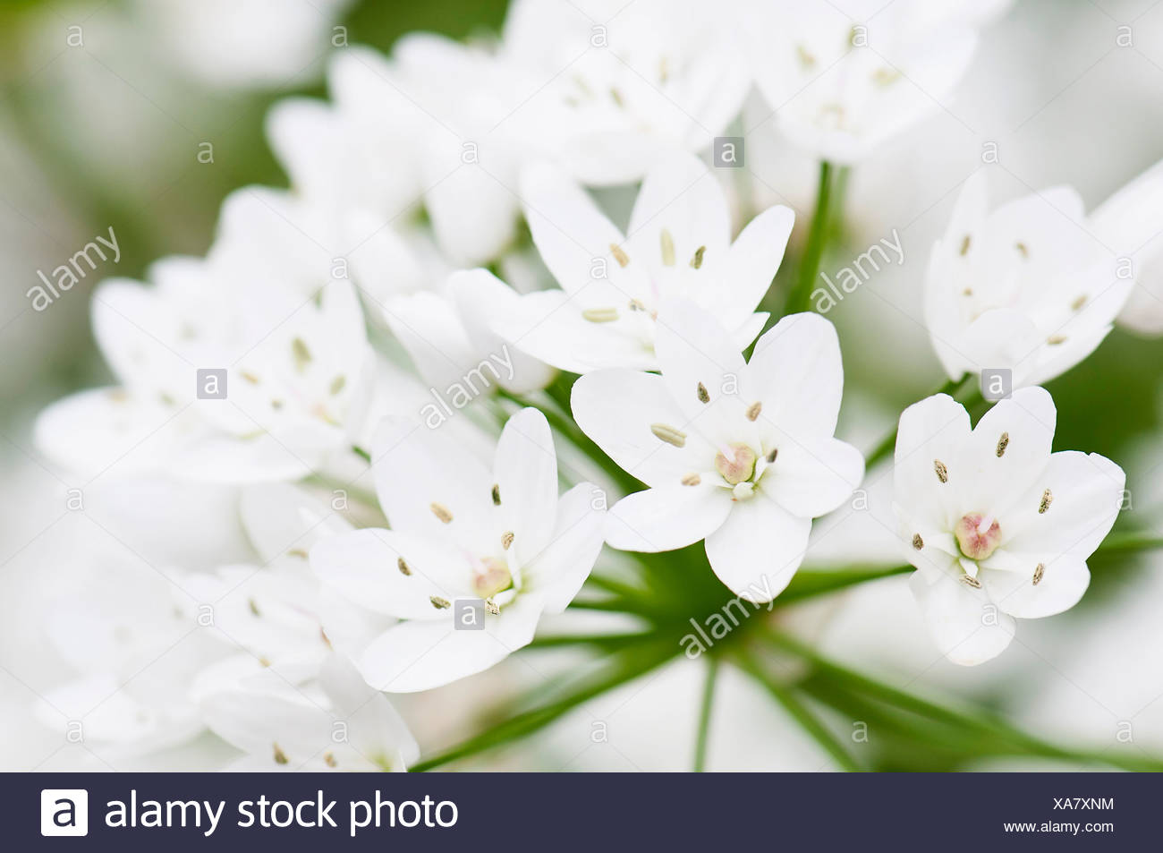 White Star Shaped Flowers Stock Photos White Star Shaped Flowers