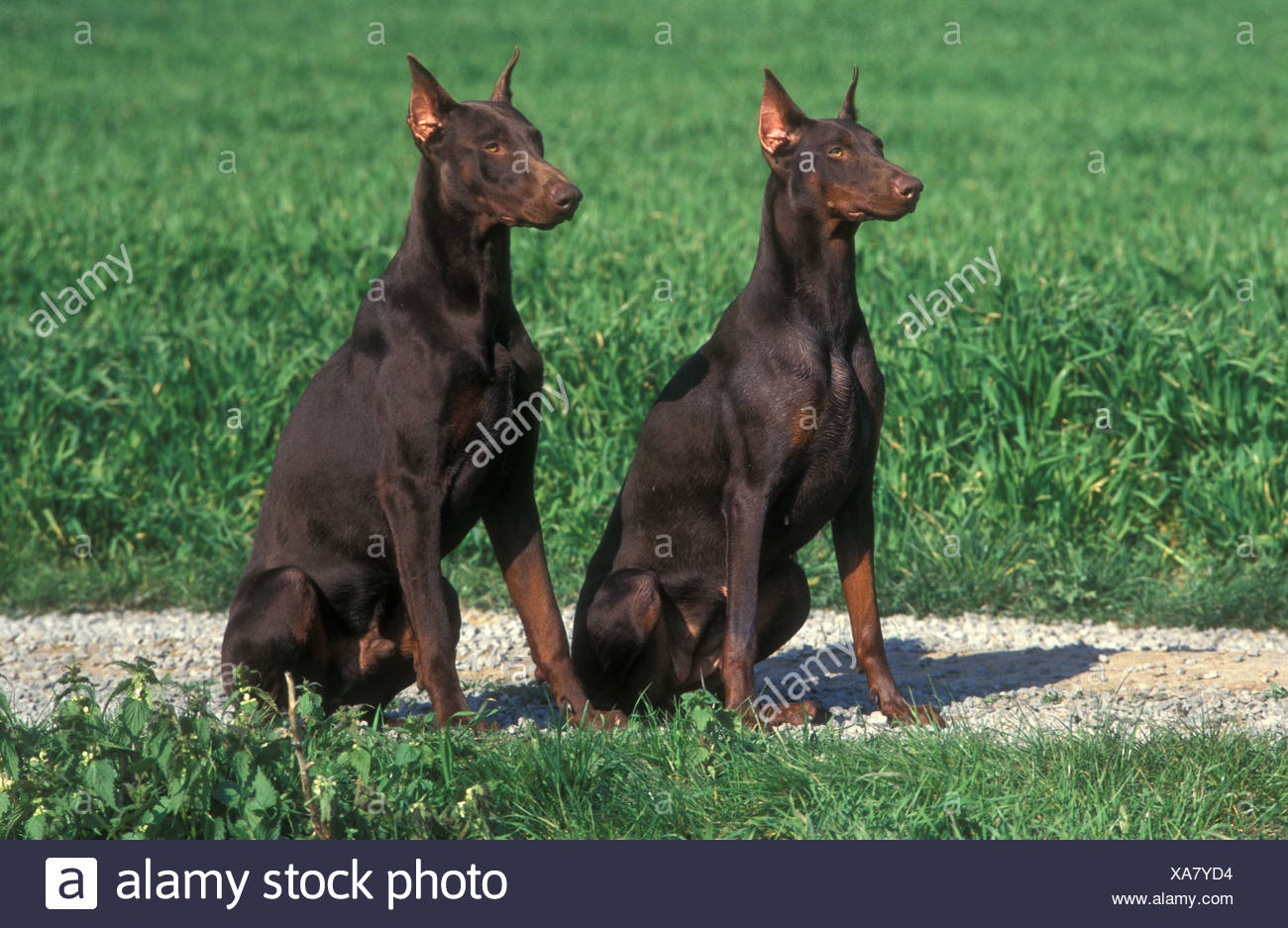 Dobermann Animal Animals breed pet domestic dog outside outdoors two dogs couple - Stock Image