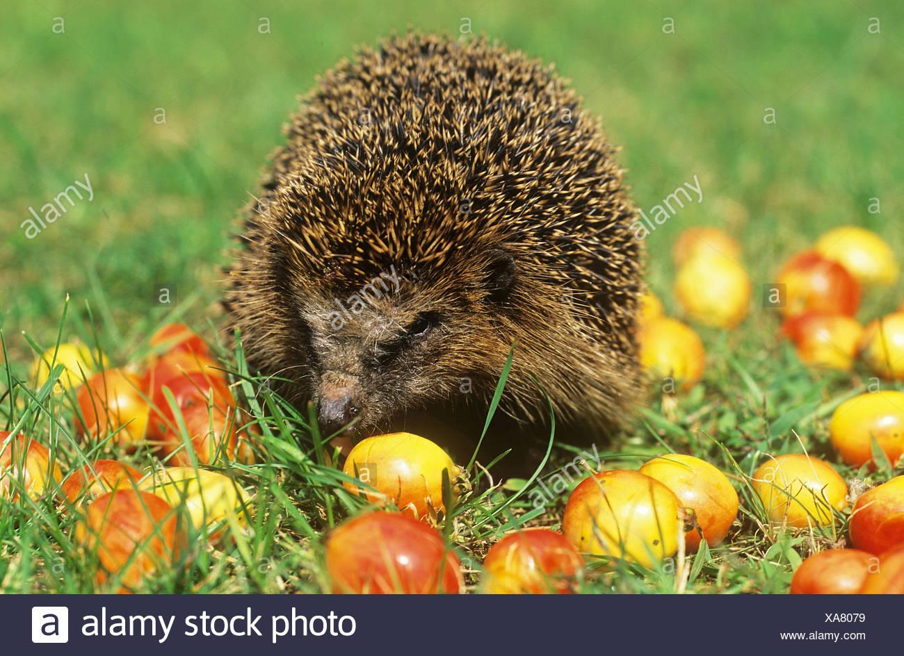West European hedgehog  in between apples / Erinaceus europaeus - Stock Image