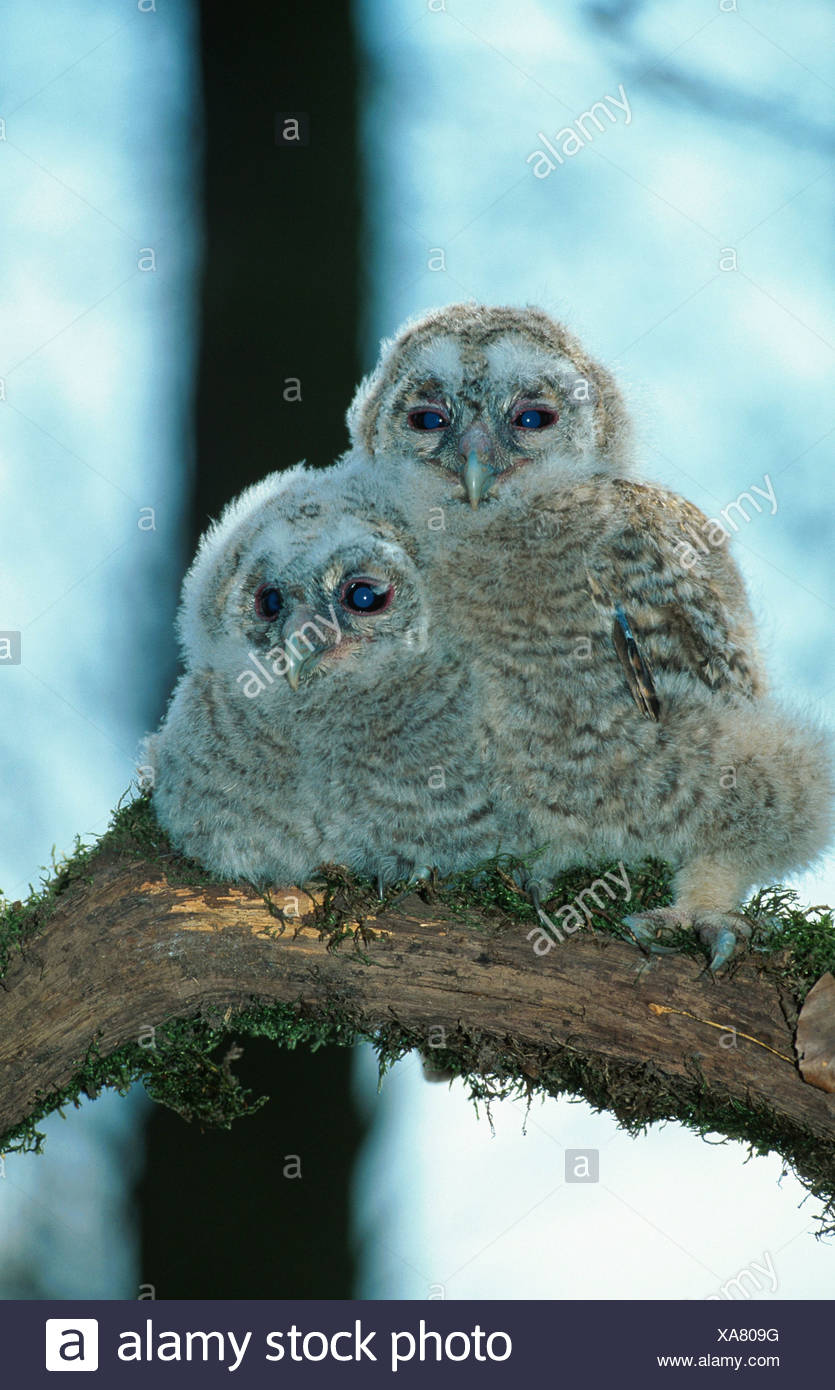 Eurasian tawny owl (Strix aluco), portrait of two fledglings, sitting on a branch - Stock Image