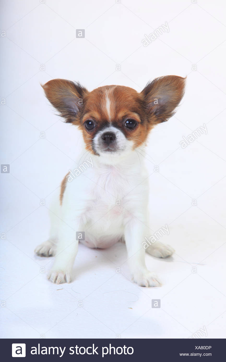 Chihuahua, longhaired puppy, 9 weeks, sitting portrait. Stock Photo