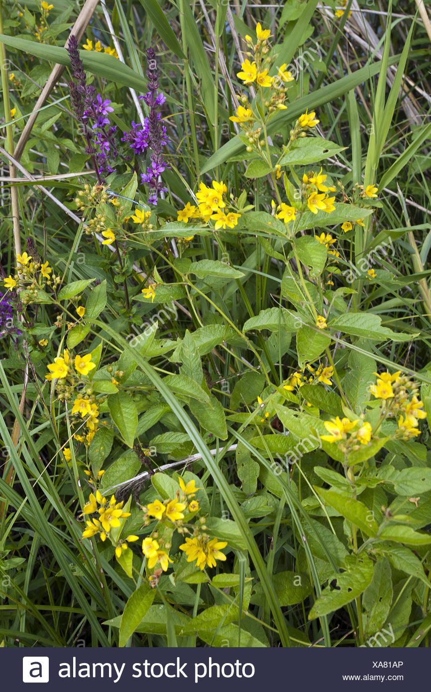 Yellow Loosestrife, Lysimachia vulgaris Stock Photo