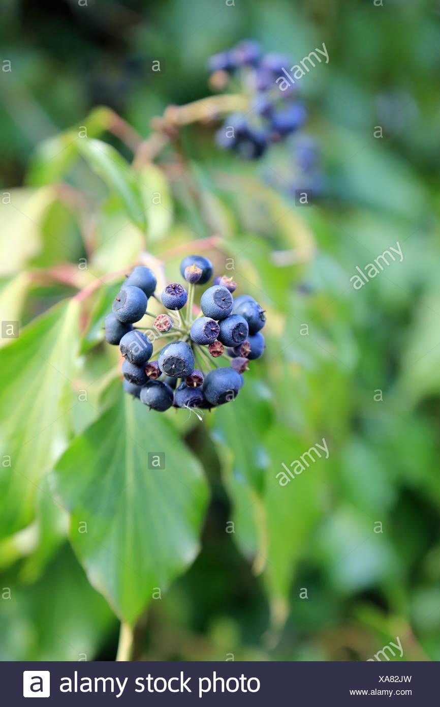 Berries of ivy, Hedera helix Stock Photo