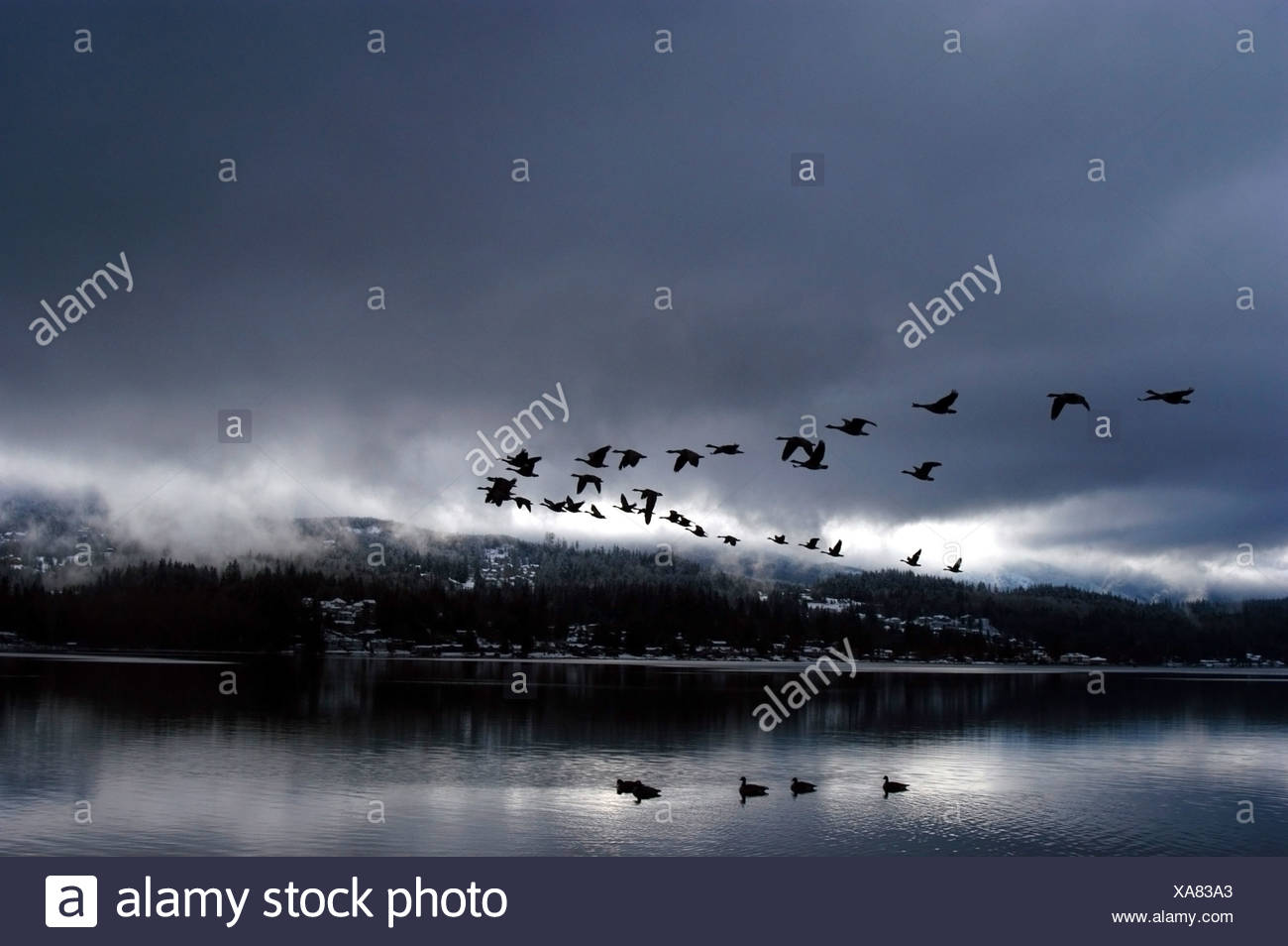 A flock of Canadian Geese fly over Lake Whatcom in V formation during a storm; Bellingham, WA - Stock Image