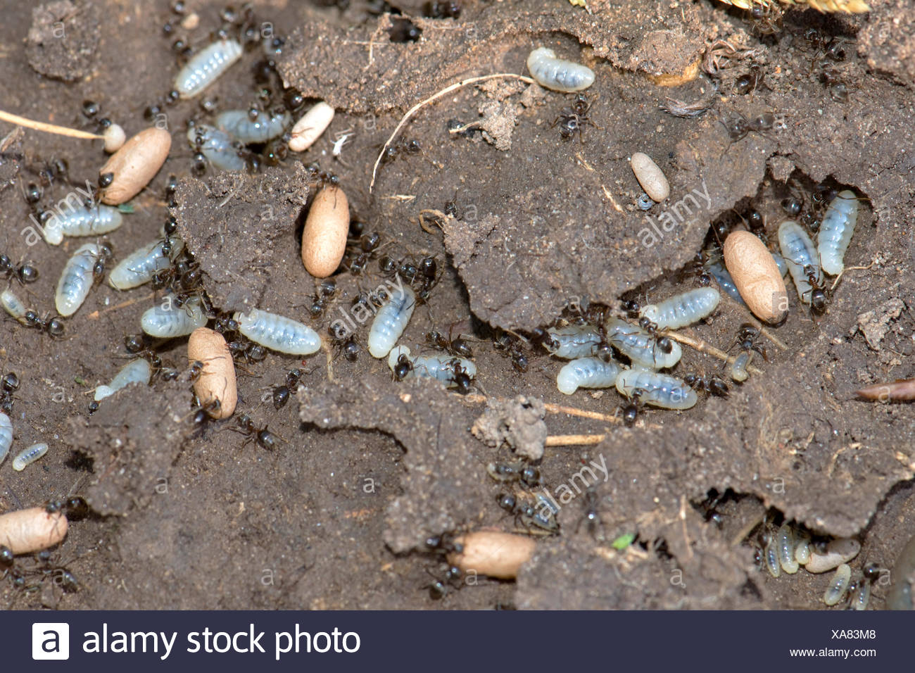 Exposed nest of black garden ants, Lasius niger, with workers, larvae and cocoons in tunnels - Stock Image