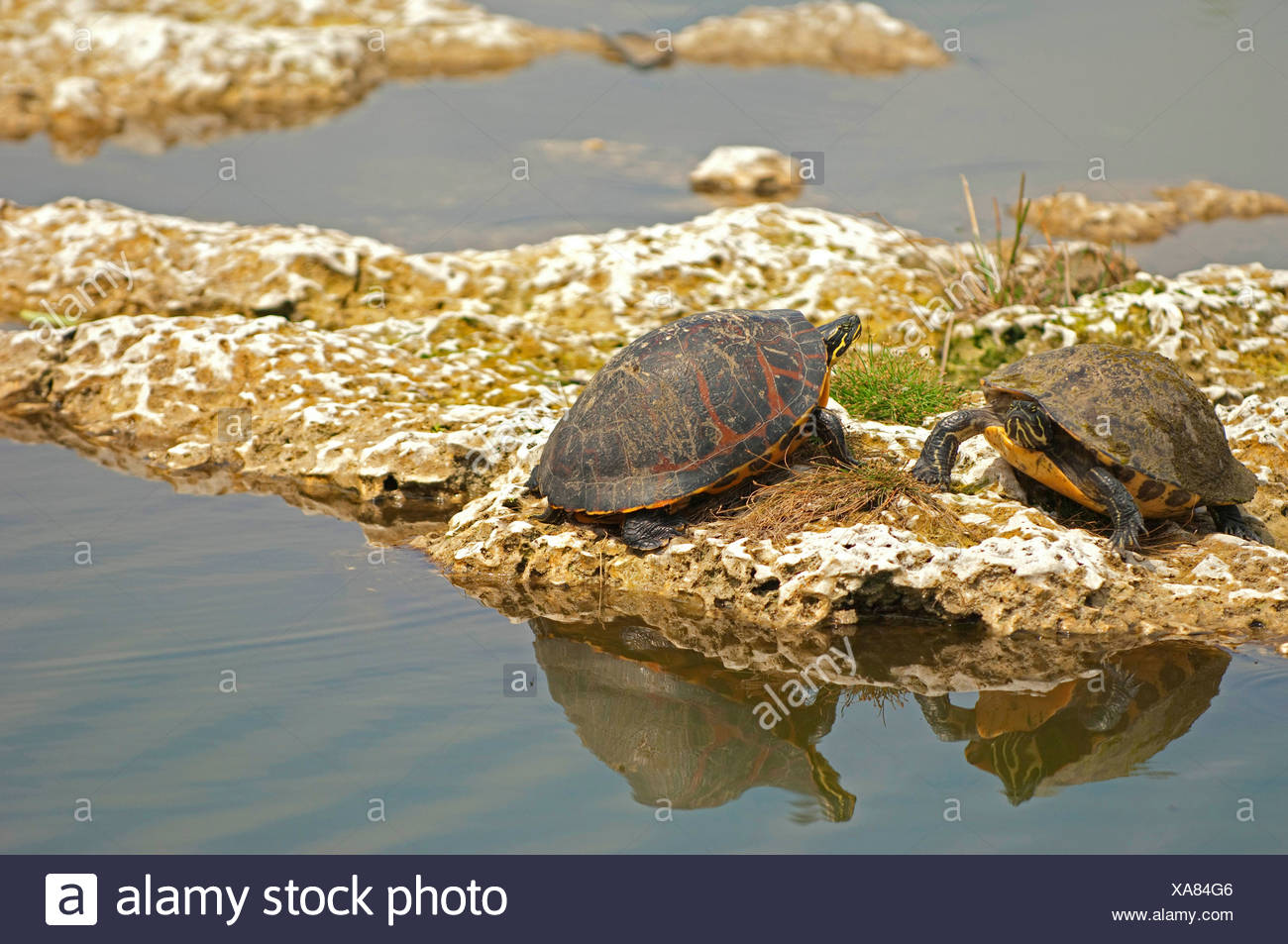 red-bellied turtle, redbelly turtle (Chrysemys rubriventris), turtles taking a sunbath, USA, Florida, Everglades National Park Stock Photo