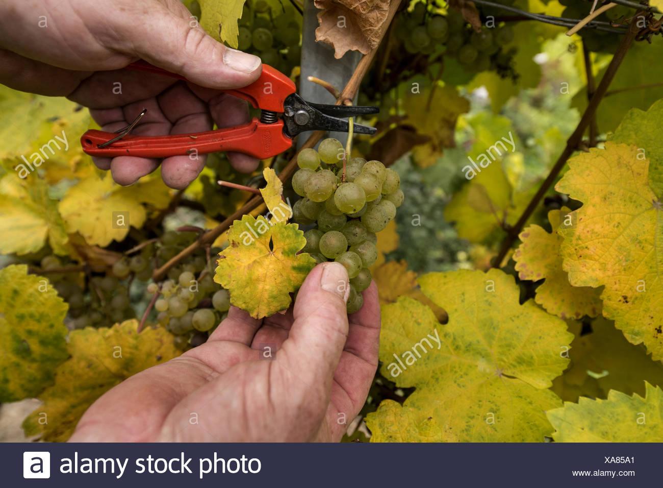 seasonal worker harvesting grapes, Austria, Lower Austria, Wachau - Stock Image