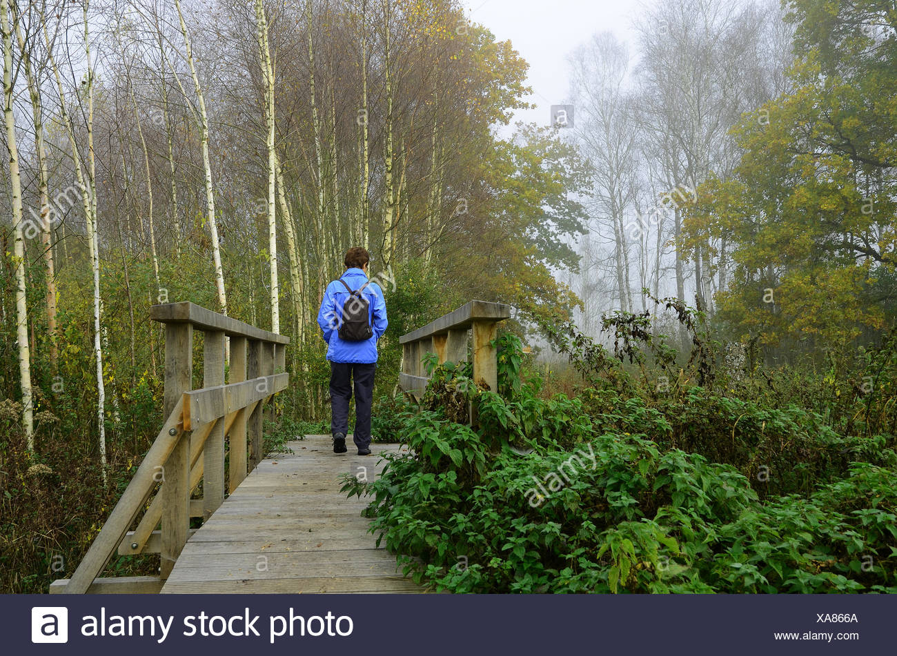 birch forest, bog, swamp, planked footpath Stock Photo