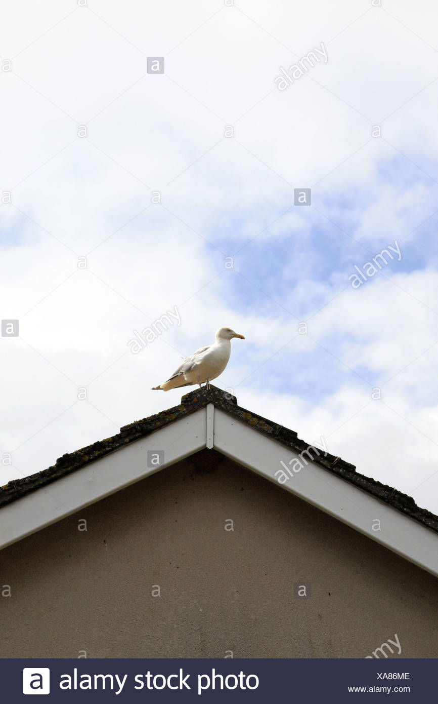 House roof, gable, gull, residential house, house, roof, bird, sea bird, cloudy sky, copy space, - Stock Image