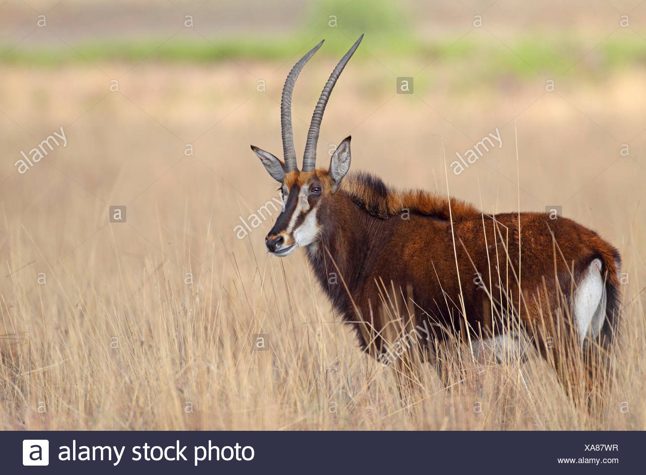 South African Sable Antelope (Hippotragus niger niger), female in savannah, South Africa, Kgaswane Mountain Reserve - Stock Image