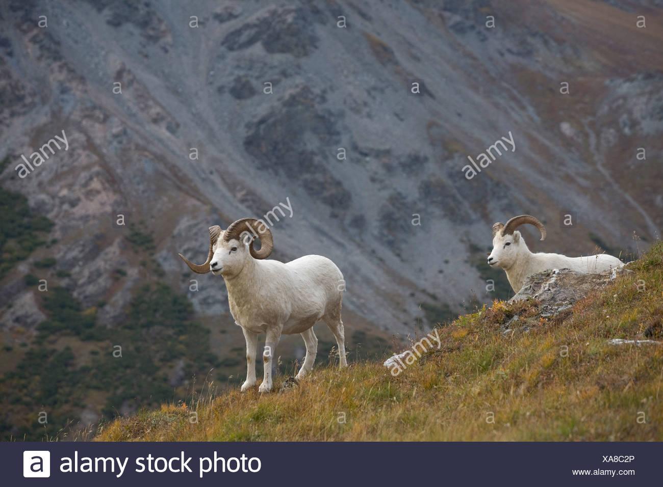 Two Dall Sheep on a ridge with mountain background, Mount Margaret, Denali National Park, Alaska Stock Photo