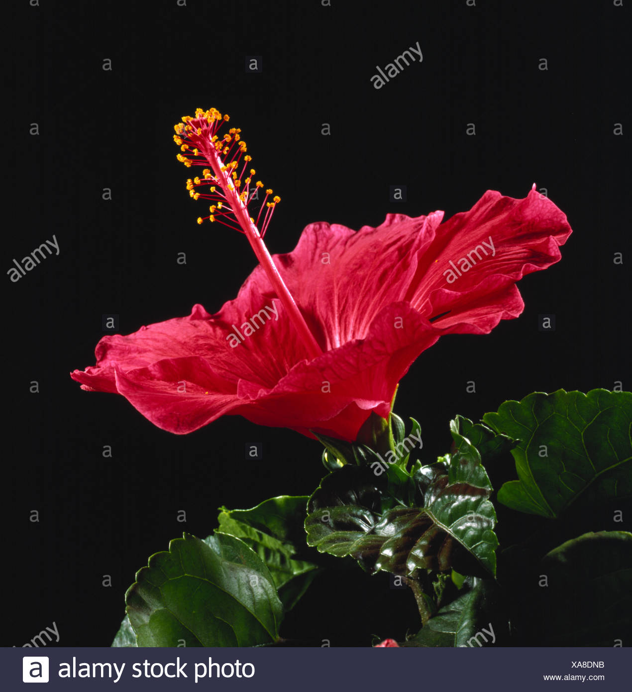 A Red Hibiscus Spp Flower Showing Style Stigma And Stamens Flower