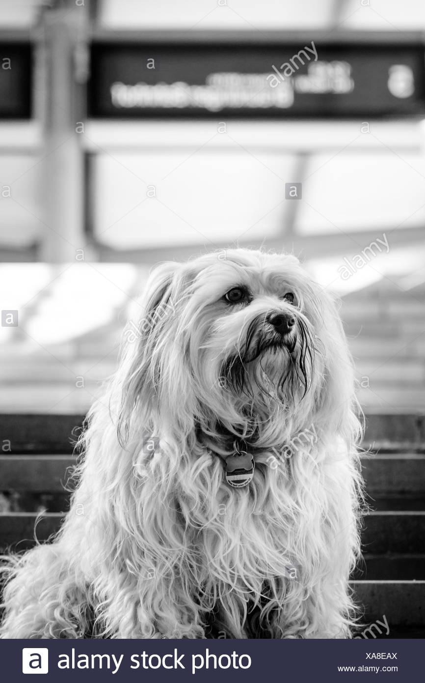 Kleiner wuschliger Havaneser sitzt auf der Treppe eines Bahnhofes. Das Bild ist in S/W umgewandelt mit ziemlich harten Kontrasten. - Stock Image