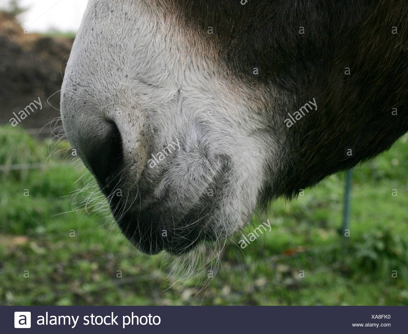 A close-up of a donkey's mouth and nose. Stock Photo
