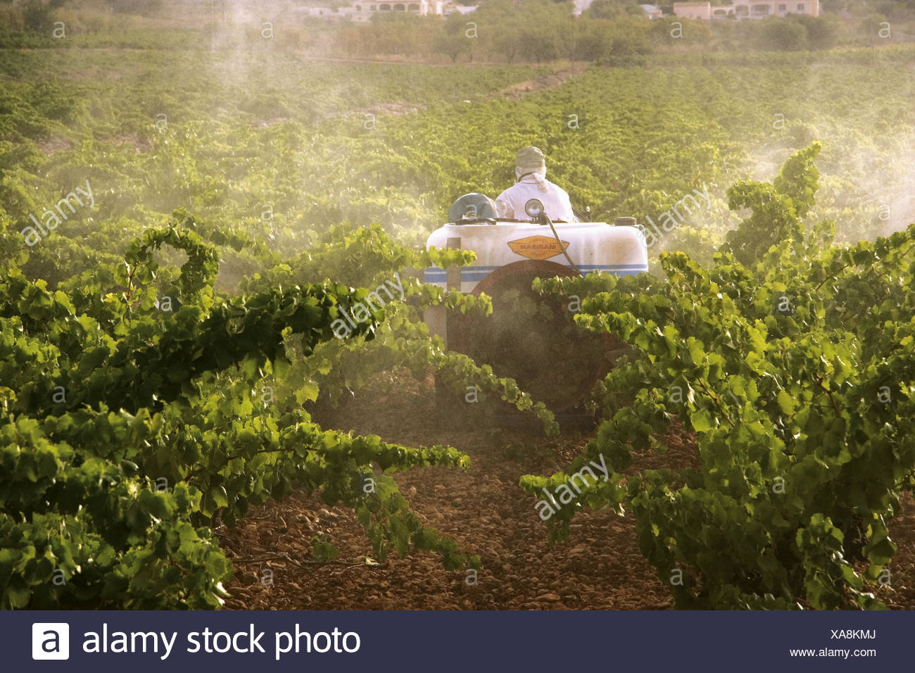 Working in the vineyard in the Jalón valley. Alicante province. Spain. - Stock Image