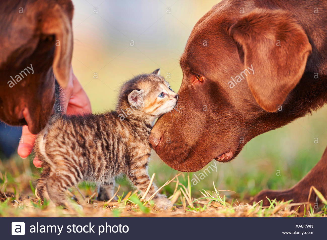 Labrador Retriever (Canis lupus f. familiaris), Labrador Retriever sniffing carefully at a five weeks old kitten , Germany - Stock Image