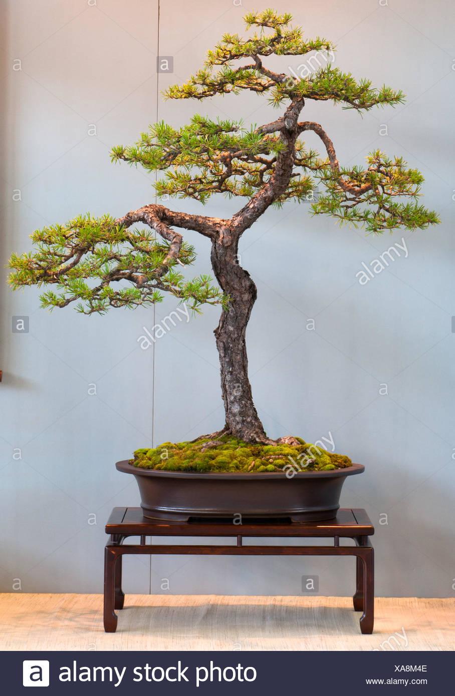 Scots Pine Bonsai Stock Photos & Scots Pine Bonsai Stock Images - Alamy