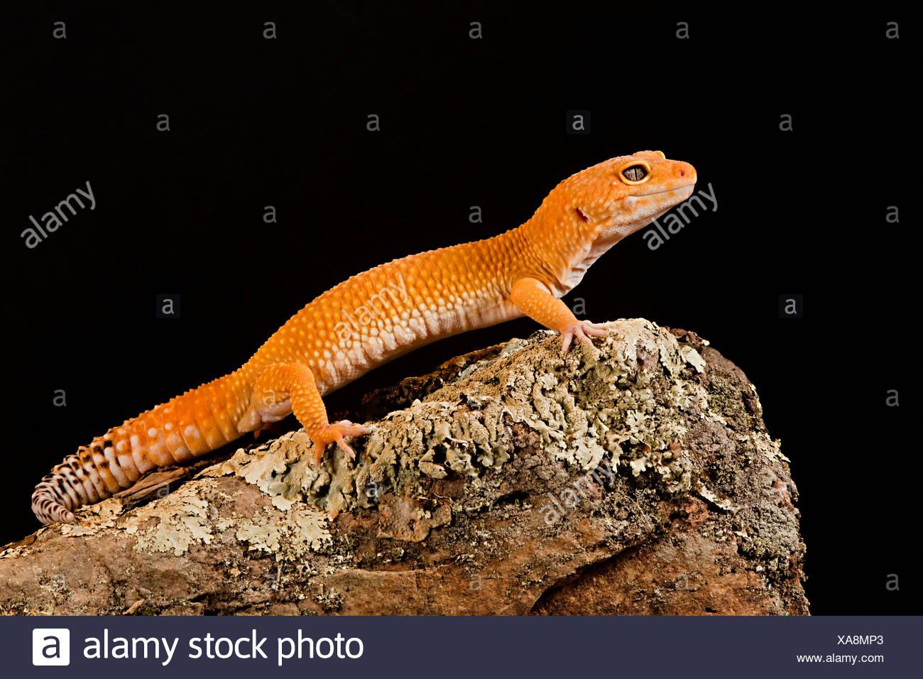 Tangerine Leopard Gecko Eublepharis macularis Stock Photo