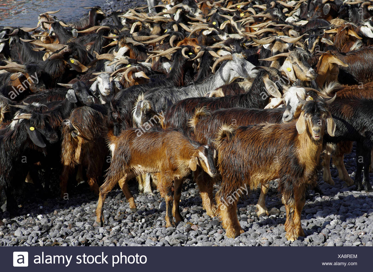 goats Stock Photo