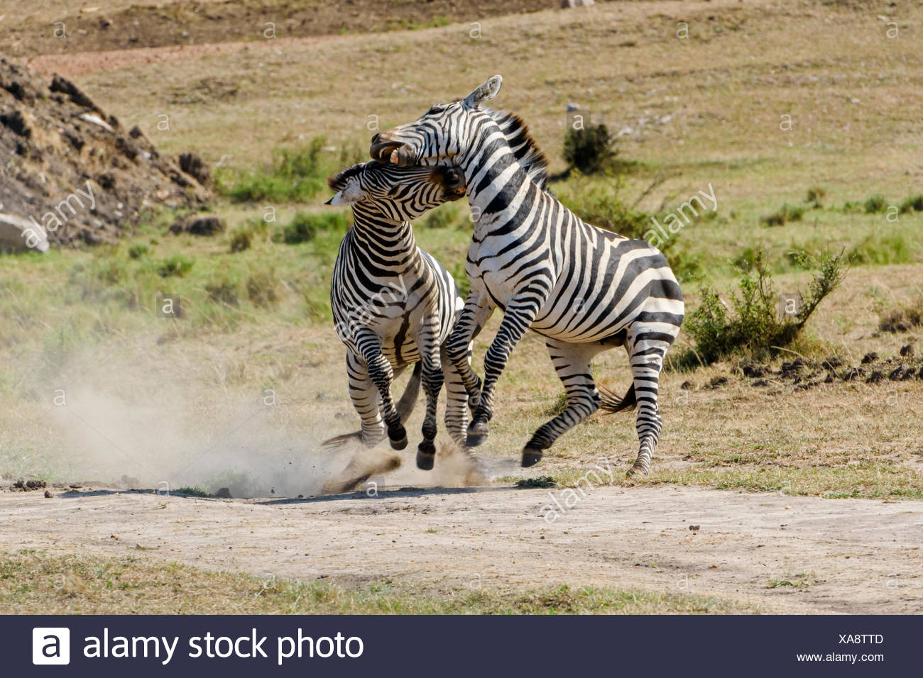 Zebras (Equus quagga), stallions fighting, Maasai Mara National Reserve, Narok County, Kenya - Stock Image