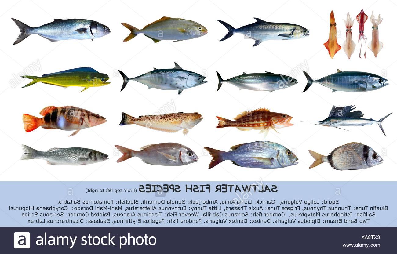 Pacific bluefin tuna stock photos pacific bluefin tuna for California saltwater fish species