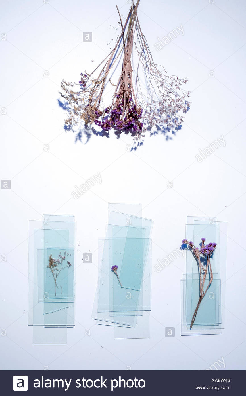 Overhead view of dried plants and panes of glass on white background - Stock Image