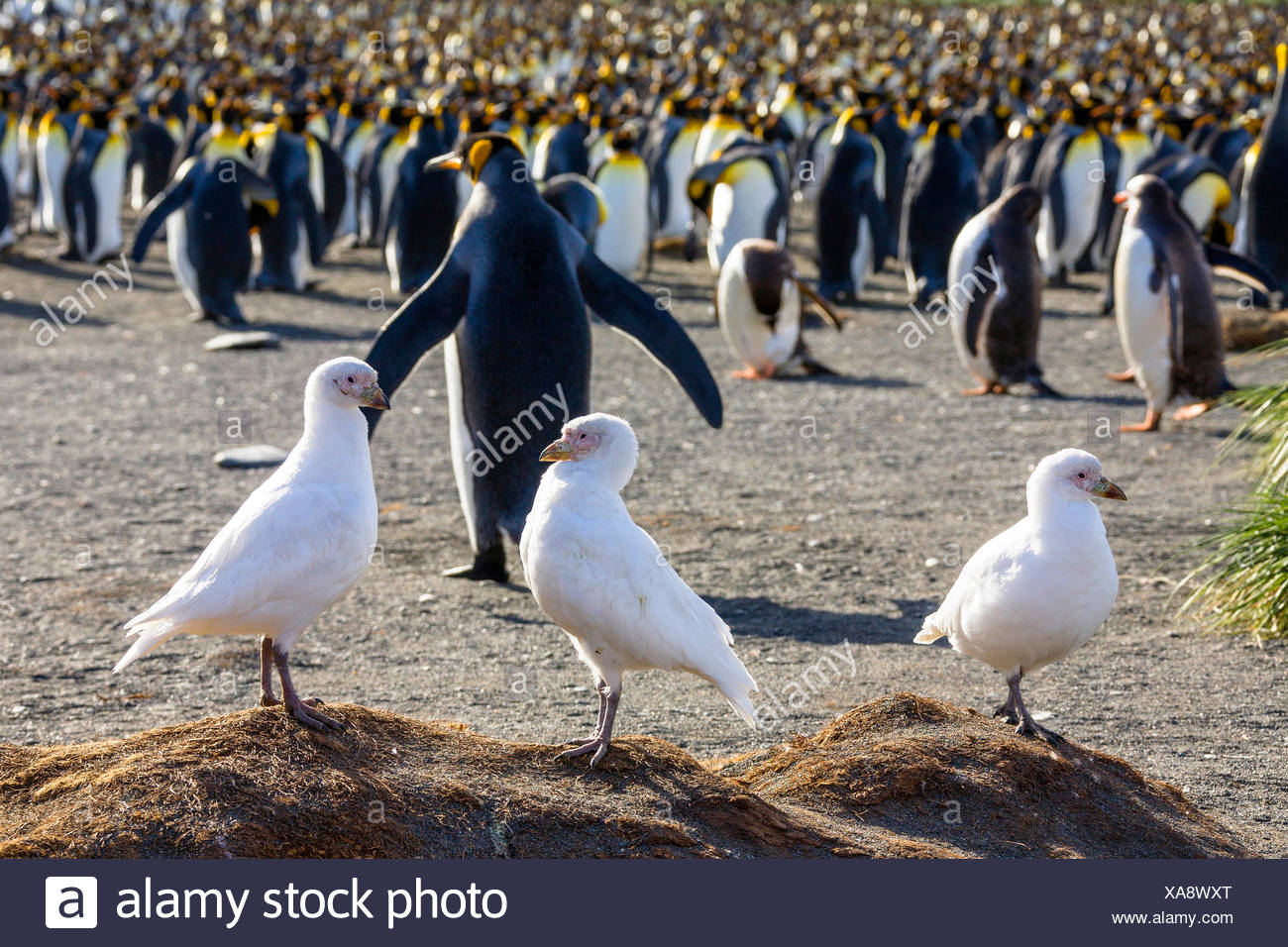 Snowy Sheathbill, Pale-faced sheathbill, Paddy (Chionis alba), three sheathbills in front of a king penguin colony, Antarctica, Suedgeorgien - Stock Image