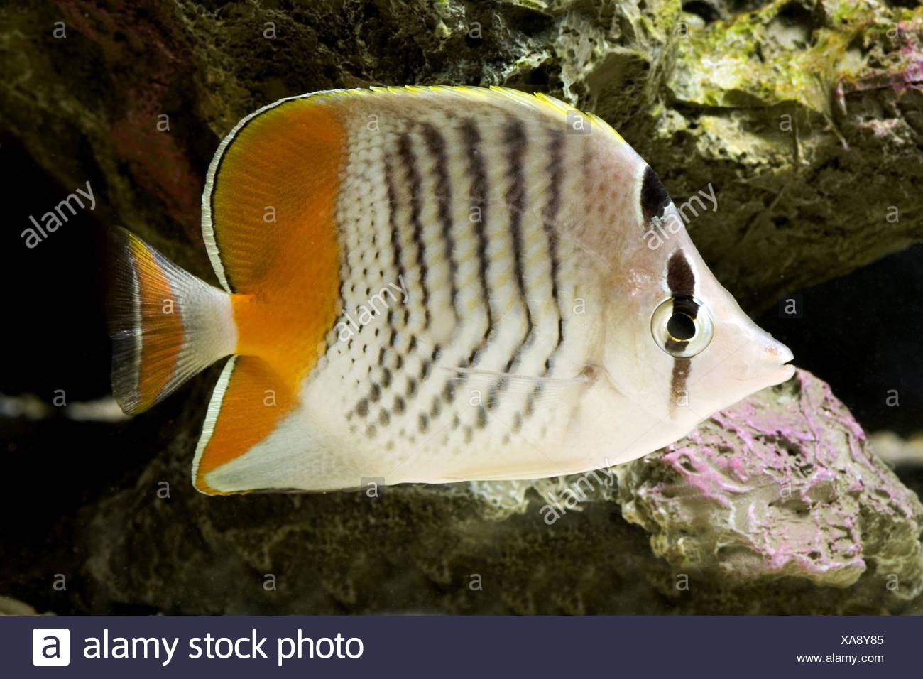 seychelles butterflyfish, chaetodon madagaskariensis - Stock Image