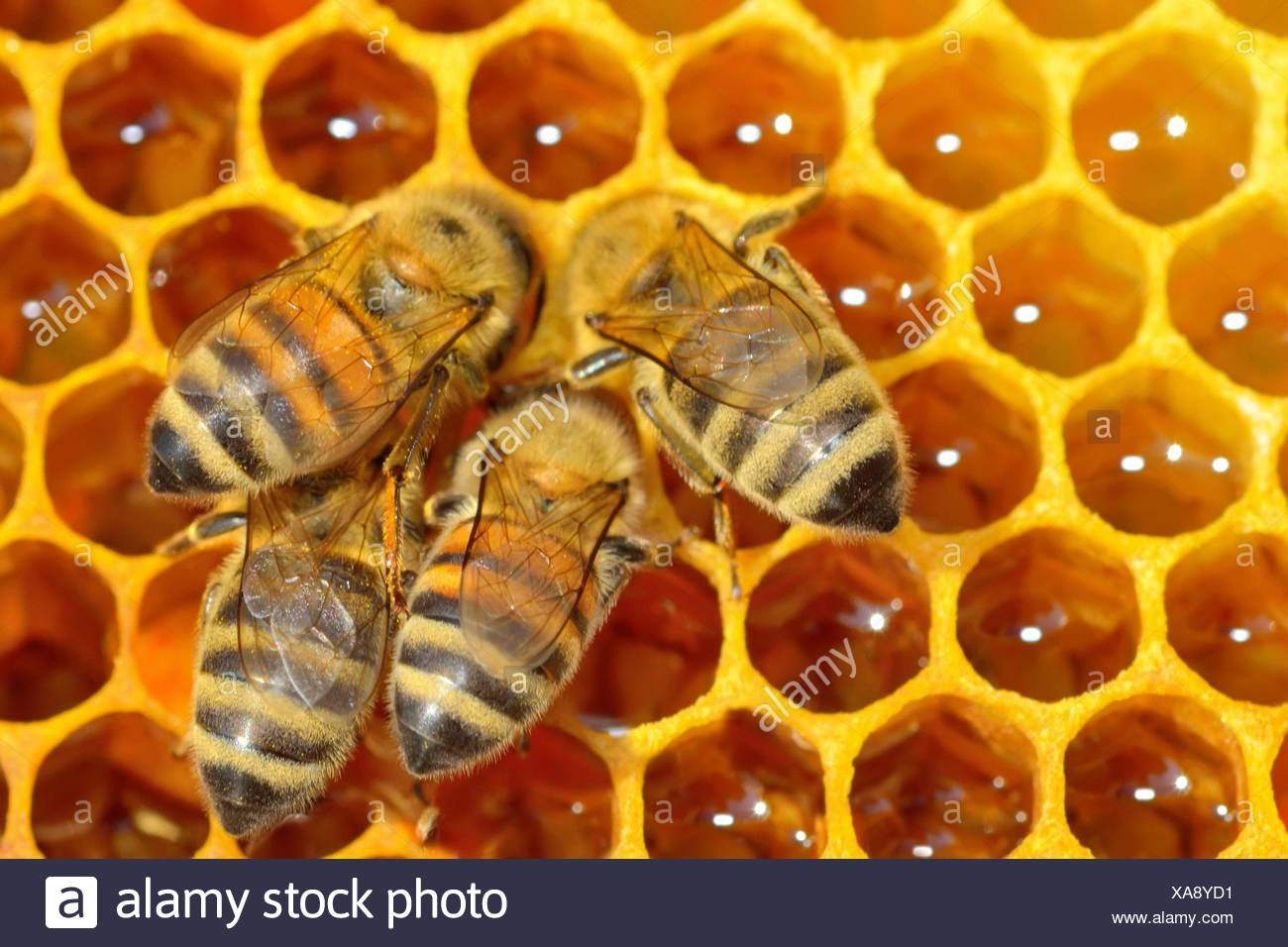 Close up view of the working bees on honey cells. - Stock Image