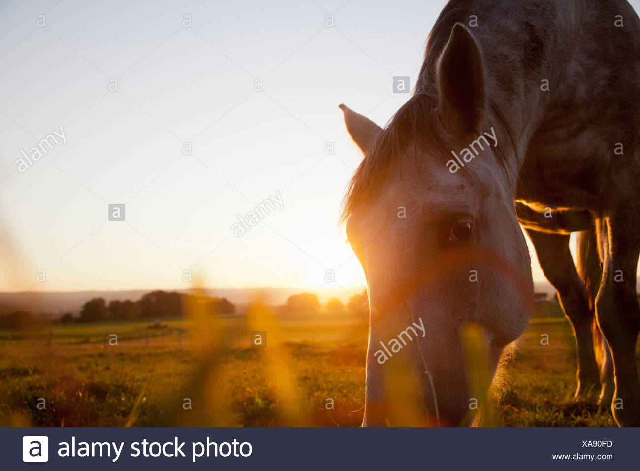 Hose grazing in rural field - Stock Image