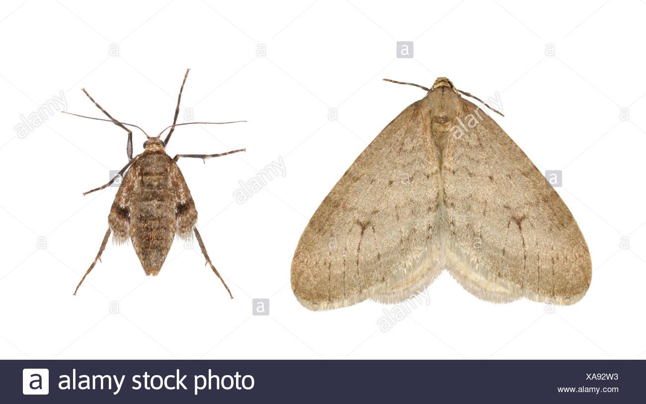 70.105 (1800) Northern Winter Moth - Operophtera fagata - Stock Image